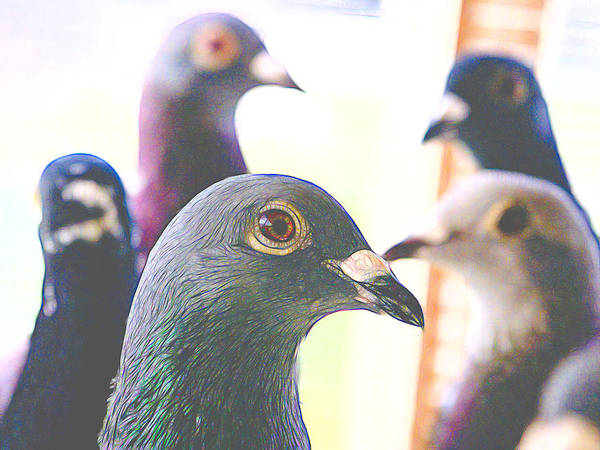 Photograph - Five Homing Pigeons Styled by Don Northup