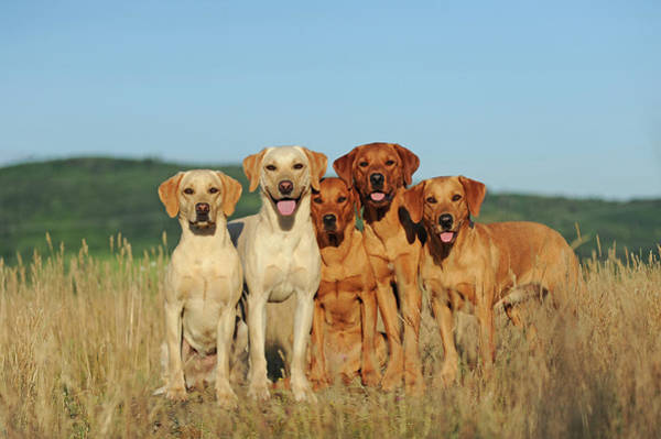 Wall Art - Photograph - Five Labrador Retrievers Yellow Males And Females Sitting Side By Side Austria by imageBROKER - Anni Sommer