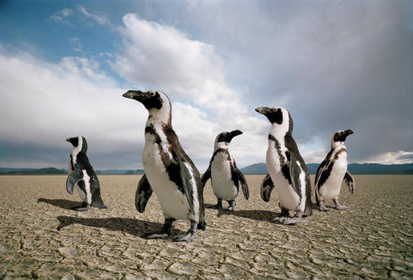 Out Of Context Photograph - Five Penguins Lost In A Dry Lake Bed by Matthias Clamer