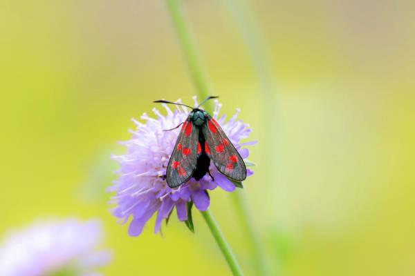 Photograph - Five Spot Burnet Moth On A Purple Flower by Scott Lyons