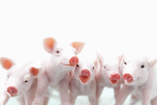 Pig Photograph - Five Toy Pigs Are Annoying by Yasuhide Fumoto