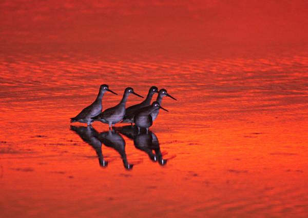 Ding Photograph - Five Willets Tringa Semipalmata At by Danita Delimont