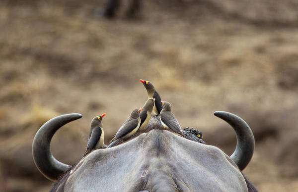 South Buffalo Photograph - Five Yellow-billed Oxpeckers Perching by Sean Russell