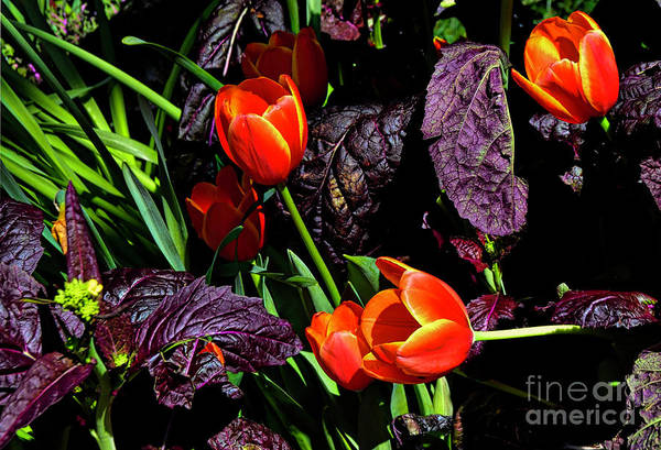 Photograph - Flair Tulip And Black Prince by Diana Mary Sharpton