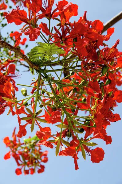 Quintana Roo Photograph - Flamboyant Poinciana Bloom by M Timothy O'keefe
