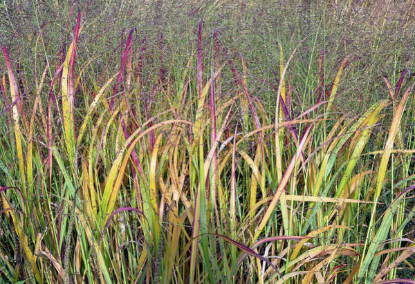 Ornamental Grass Photograph - Flame Grass by Ron Evans