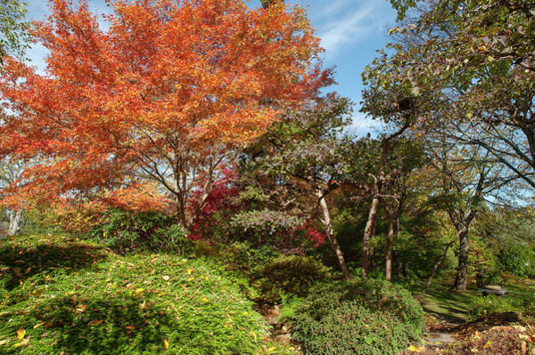 Photograph - Flaming Fall Acer Tree Of Japanese Garden 1 by Jenny Rainbow