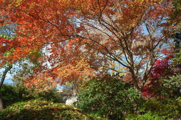 Photograph - Flaming Fall Acer Tree Of Japanese Garden 2 by Jenny Rainbow