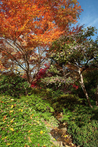 Photograph - Flaming Fall Acer Tree Of Japanese Garden 3 by Jenny Rainbow