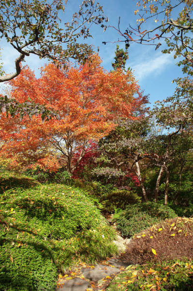 Photograph - Flaming Fall Acer Tree Of Japanese Garden by Jenny Rainbow