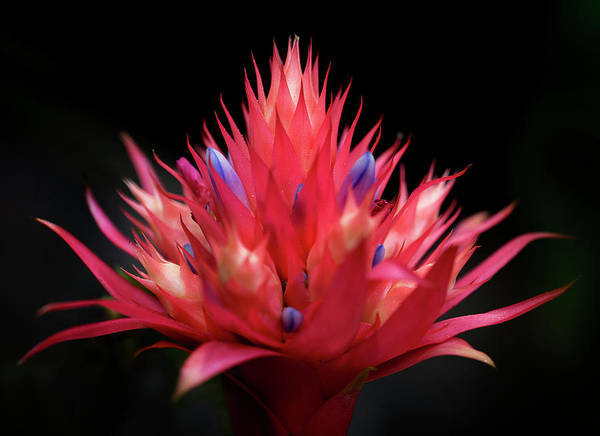 Photograph - Flaming Flower by John Rodrigues