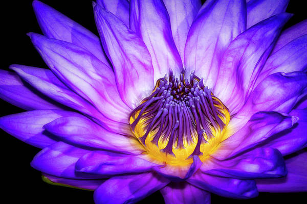 Photograph - Flaming Heart Waterlily by Susan Candelario