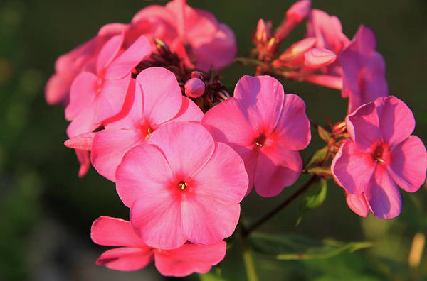 Flaming Pink Phlox Art Print