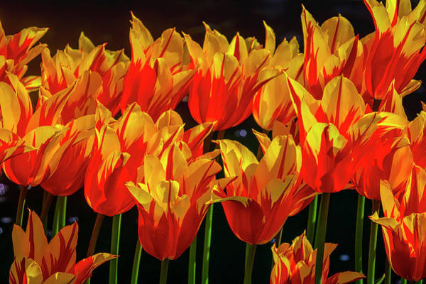 Wall Art - Photograph - Flaming Red Yellow Tulips by Garry Gay