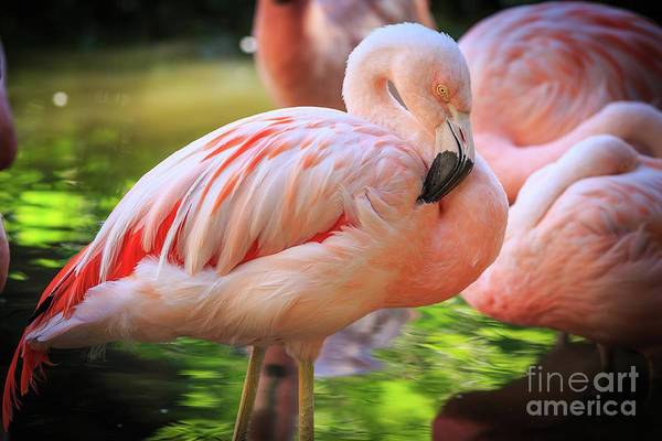 Wall Art - Photograph - Flamingo 4 by Edward Fielding