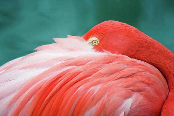 Flamingo At Rest Art Print