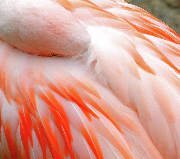 Radford Photograph - Flamingo At Rest by Taken By Richard Radford
