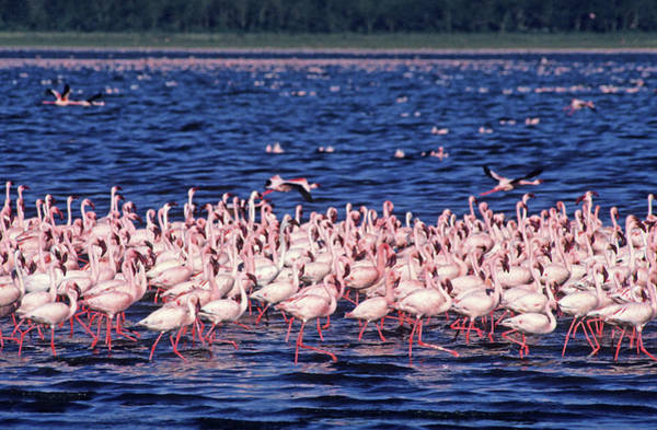 Wading Photograph - Flamingo Colony by Nature/uig