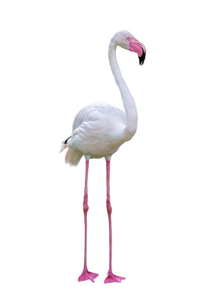 Wall Art - Photograph - Flamingo Facing Side Extracted by Susan Schmitz