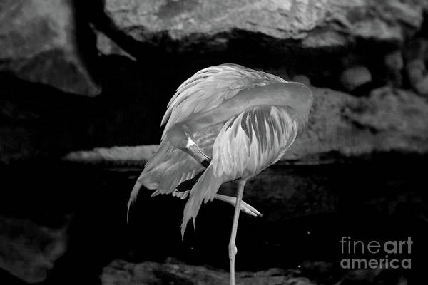 Photograph - Flamingo In Black And White by Patti Whitten
