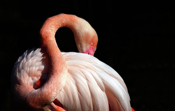 Long Neck Photograph - Flamingo by Lucynakoch