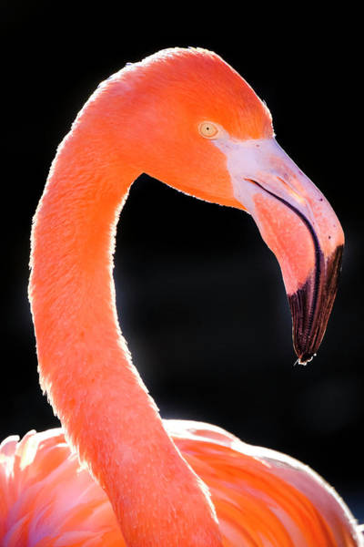 Photograph - Flamingo by Nicole Young