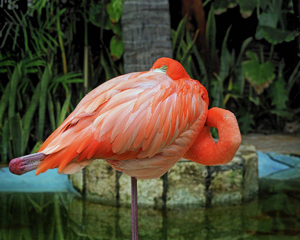 Photograph - Flamingo Peekaboo by Bill Swartwout Photography