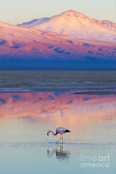 Wall Art - Photograph - Flamingo, Pink Sunset Above Atacama by Longtaildog