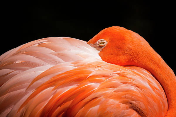 Wall Art - Photograph - Flamingo Resting by Stephanie McDowell