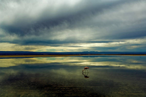 Salar De Atacama Photograph - Flamingo, Salar De Atacama by By Philippe Reichert