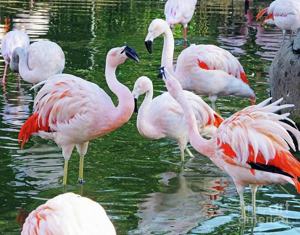Photograph -  Flamingo8  Chilean by Lizi Beard-Ward