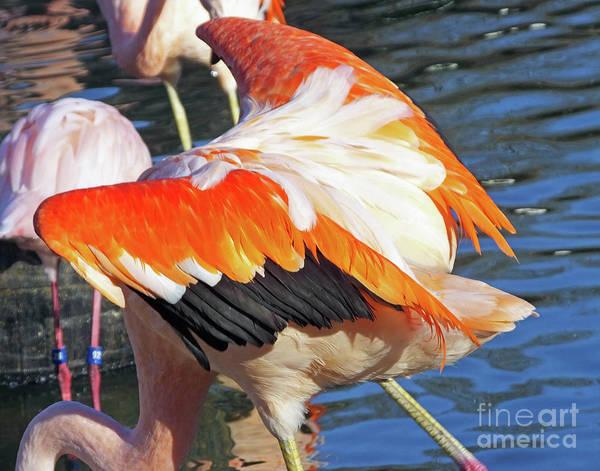 Photograph - Flamingo9  American Flamingo by Lizi Beard-Ward