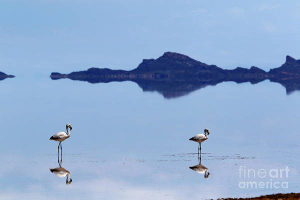 Photograph - Flamingos And Reflections On The Salar De Uyuni Bolivia by James Brunker