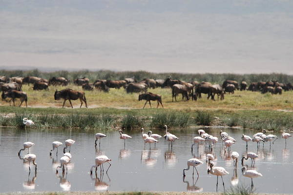 Wall Art - Photograph - Flamingos And Wildebeest by Image By Lee Christensen