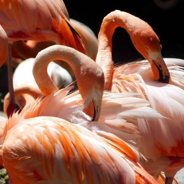Photograph - Flamingos by Dan Miller