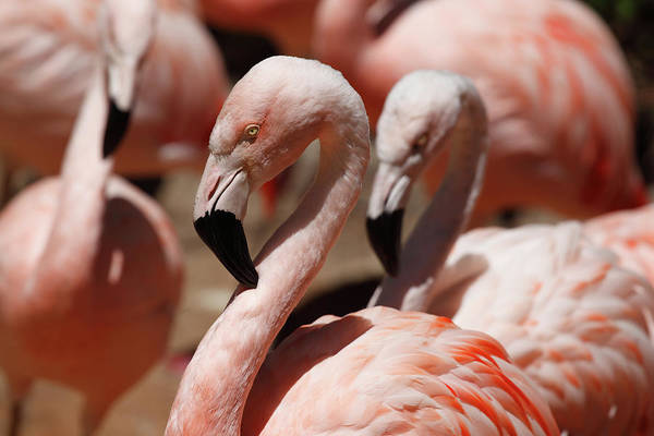 Safari Animal Photograph - Flamingos by Fjdelvalle