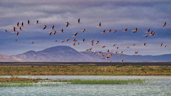 Photograph - Flamingos In Flight - Morocco by Stuart Litoff