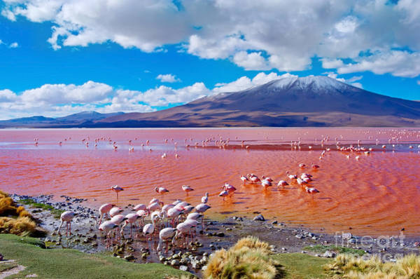 Colorado Wildlife Wall Art - Photograph - Flamingos In Laguna Colorada , Uyuni by Byelikova Oksana