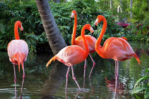 Photograph - Flamingos Iv by Brian Jannsen