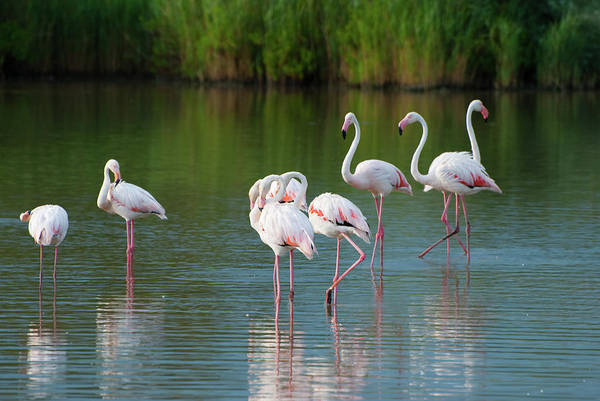 Back In The Day Photograph - Flamingos by Mmac72