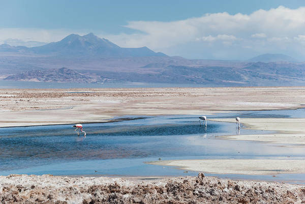 Bird Photograph - Flamingos National Reserve, Atacama by Igor Alecsander