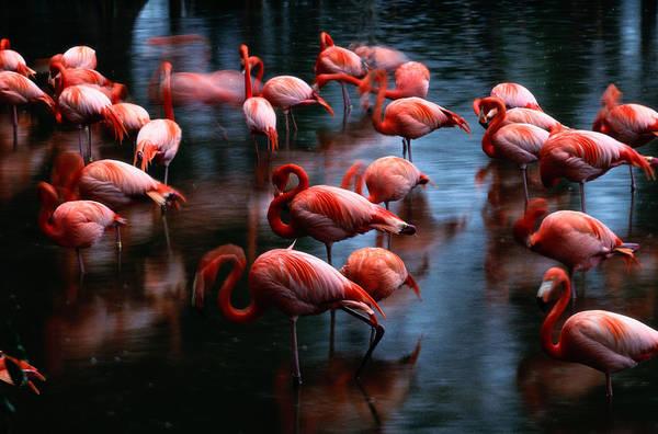 Safari Animal Photograph - Flamingos Phoenicpterus Ruber, Venice by Gavriel Jecan