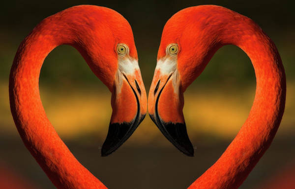 Birds Of Texas Photograph - Flamingos With Heart Shaped Necks by Vaillancourt Photography