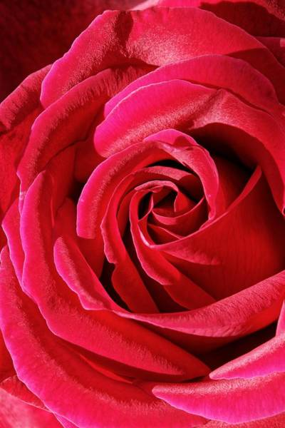 Photograph - Flawless - Red Rose by KJ Swan