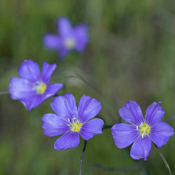 Photograph - Flax Wildflowers by Cascade Colors