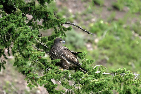 Photograph - Fledging by Ronnie and Frances Howard