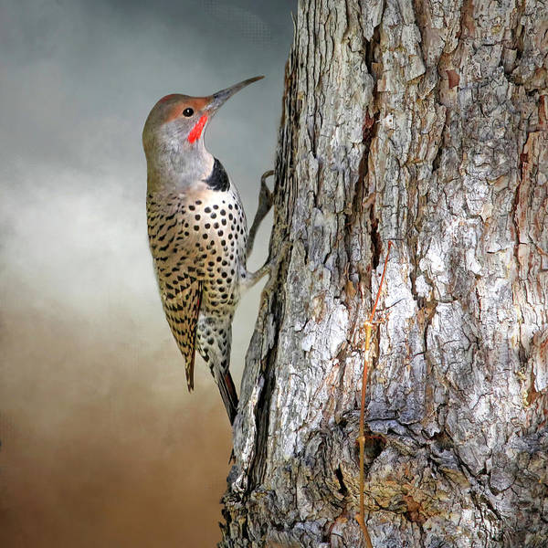 Colaptes Photograph - Flicker On A Pine by Donna Kennedy