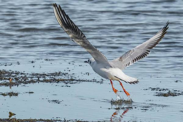 Chroicocephalus Ridibundus Photograph - Flight Of Rare Black-headed Gull by Morris Finkelstein