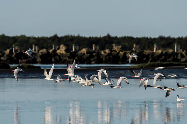 Photograph - Flight Of Terns by Robert Potts