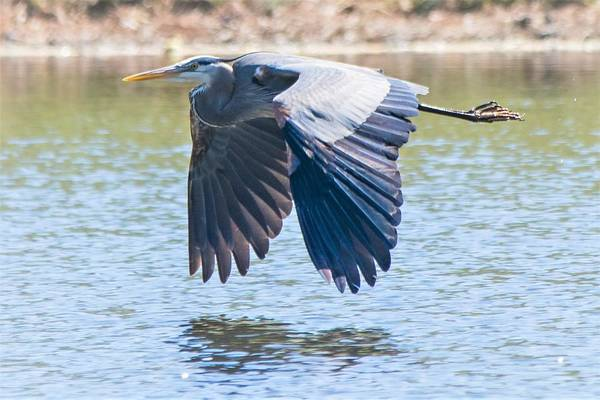 Wall Art - Photograph - Flight Of The Great Blue Heron by Mary Ann Artz